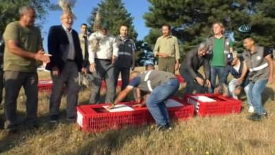 kinali -  Bin 500 kınalı keklik doğaya salındı