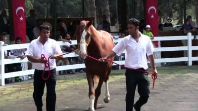 Safkan Arap taylarından 3,6 milyon lira gelir - BURSA