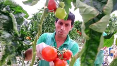 Ağrı'da serada üretilen domates bölgenin lezzeti oldu