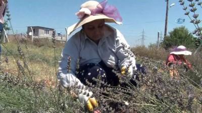 Lavanta işine giren ev hanımı, gözünü yurt dışına dikti