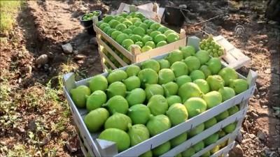 muhabir - Aydın'da incir hasadı başladı