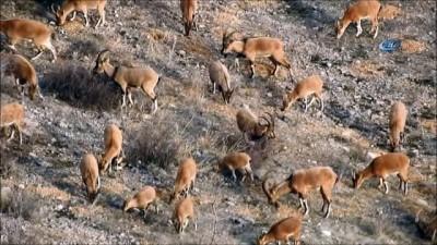 Yaban keçisi kırık ayağına rağmen yavrusunu bırakmadan yoluna devam etti