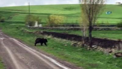 cep telefonu -  Sarıkamış'ta yolunu kaybeden boz ayı kamerada