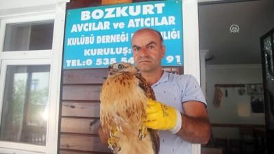 Sağlığına kavuşturduğu kızıl şahini doğaya saldı - KASTAMONU