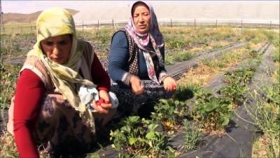 organik tarim - Kadınlar çilek üretimiyle belediye bütçesine katkı sağlıyor - VAN