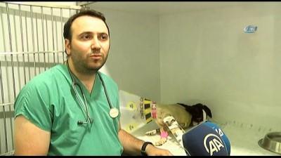 - Mardin'de vurularak ağır yaralanan 'Kuzey' isimli köpek, İstanbul'da tedavi altına alındı