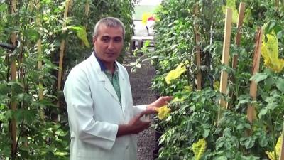bakanlik - Niğde'de 'mor patates' üretildi