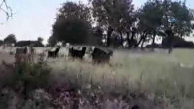 Yavru kangal kaybolan keçileri bulup sahibine teslim etti