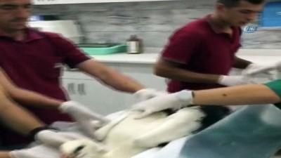 trol -  Yaralı leylek tedavi altında