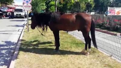 Zabıta ağaca bağlanan atın sahibini aradı
