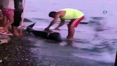 Gemlik'te karaya vuran yunus balığını doğradılar