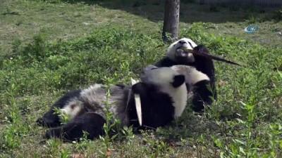 - Çin Yavru Pandaların İsmine Yarışmayla Karar Verecek - Çin'den Yavru Pandalara İsim Yarışması