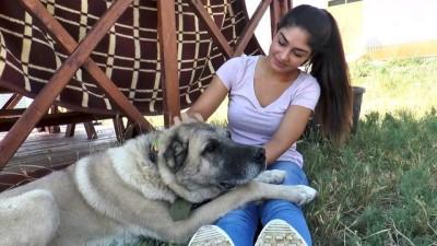 Karadeniz yaylalarına Kangal köpeği önerisi - SİVAS