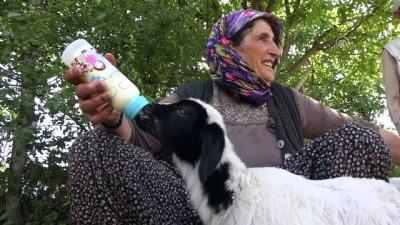 Anneleri ölen kuzuları biberonla besliyor - MUŞ