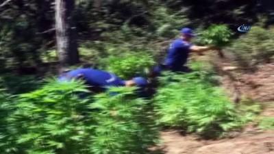 7 suçtan aranan zanlı ormanda kenevir yetiştirirken yakalandı