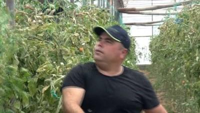Antalya'da domates üreticisi 50 derecede sezonu kapattı