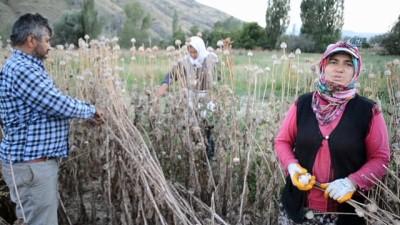 Afyonkarahisar'da haşhaş hasadı erken başladı