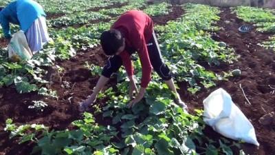 Şanlıurfa'da şelengo hasadı başladı