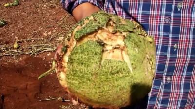 Dolu yağışı ekili alanlara zarar verdi - MANİSA