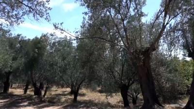 Edremit Körfezi'nde zeytin sineğiyle mücadele - BALIKESİR