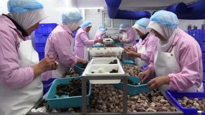 Fransa'ya 45 tır salyangoz ihracatı - BİLECİK