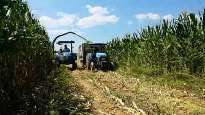 misir tarlasi -  Küçükmenderes Ovası, mısır tarlasına döndü