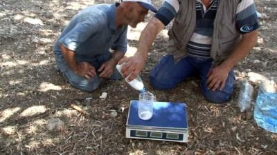 Sinek tuzağa takıldı, 82 bin zeytin ağacı kurtuldu