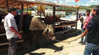 1 ton 100 kiloluk 'Paşa' 18 bin liraya satıldı - SAMSUN