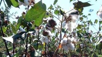 Çukurova'da pamuk hasadı havadan görüntülendi