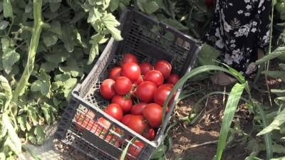 'Süper domates'e yoğun ilgi - IĞDIR