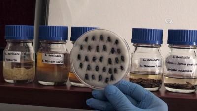 Sinek larvaları hastalara şifa oluyor - KONYA