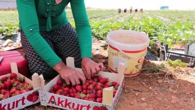 Kentten köye göç ettiren çilek - KONYA