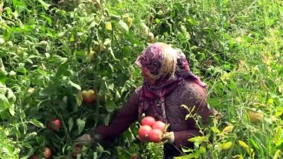 Çiftçi hasattan memnun - BİLECİK