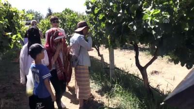Isparta üzümü hasadına Çinli ilgisi