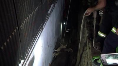 Kaçan kurbanlık iki duvar arasına sıkıştı - KOCAELİ