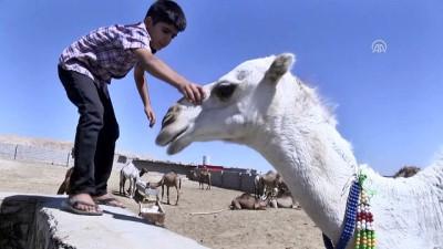Erbil'deki hayvan pazarında kurbanlık develer satışta