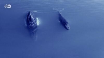 İzlanda'da 200'den fazla balina tehlike altında