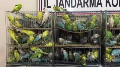 Jandarma yol kontrolünde 630 kaçak muhabbet kuşu ele geçirdi