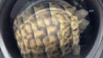 Küçük kaplumbağayı ezilmekten kurtarıp doğaya bıraktı