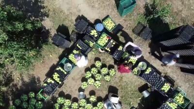 Türkiye'nin 'armut bahçesi': Gürsu - BURSA