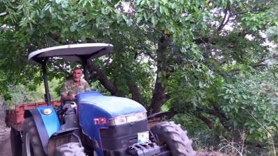 İki asırlık ceviz ağacı yılda yarım ton ürün veriyor - ÇORUM