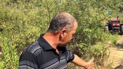 misir tarlasi -  Köylülerin kabusu olan yaban domuzu 45 gün sonra etkisiz hale getirildi