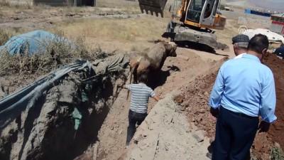 Lağım çukurlarına düşen inekler iş makinesiyle kurtarıldı - AĞRI