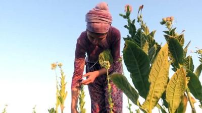 Tütün çiftçisine 'okumuş evlat' desteği - MUĞLA