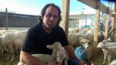 Fransız koyunuyla et verimini 3'e katlayacak