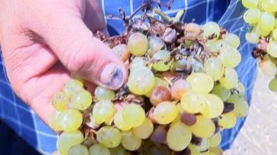 Manisa'da şiddetli yağmur sergideki üzümleri vurdu