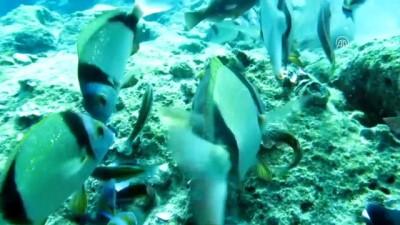 'Akdeniz'in doktor balıklarından korkmayın' - ANTALYA