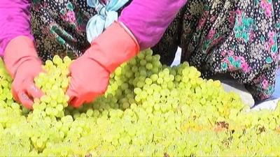 Manisa'da kuru üzüm için hasat erken başladı