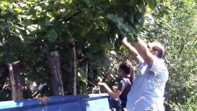 'Van'da olmaz' dediler 5 yıl önce diktiği ağaçtan fındık hasadına başladı