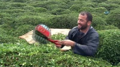 Çay sezonunu kemençe eşliğinde kapattılar